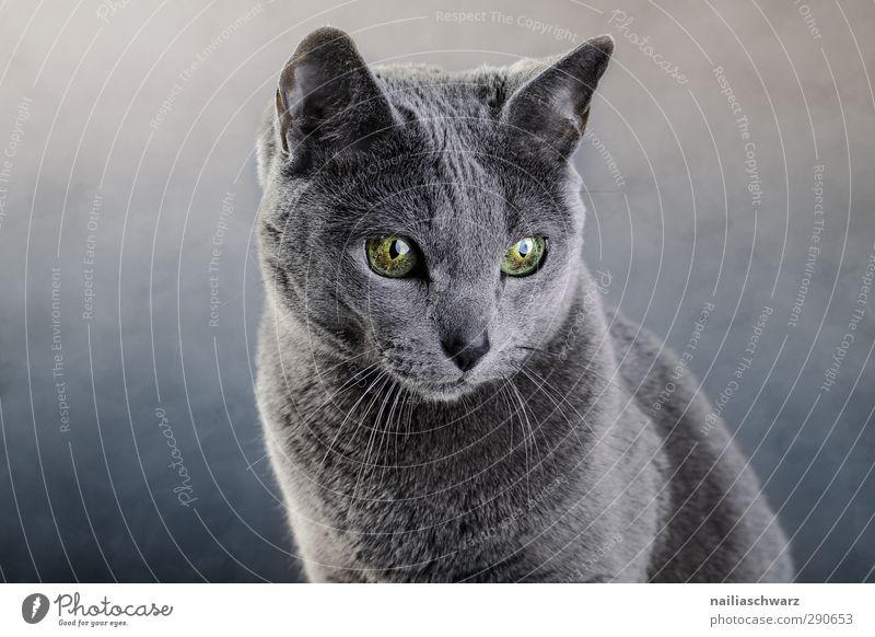 Portrait einer Katze Katze blau grün schön Tier ruhig grau träumen glänzend Zufriedenheit elegant leuchten niedlich beobachten Freundlichkeit Neugier