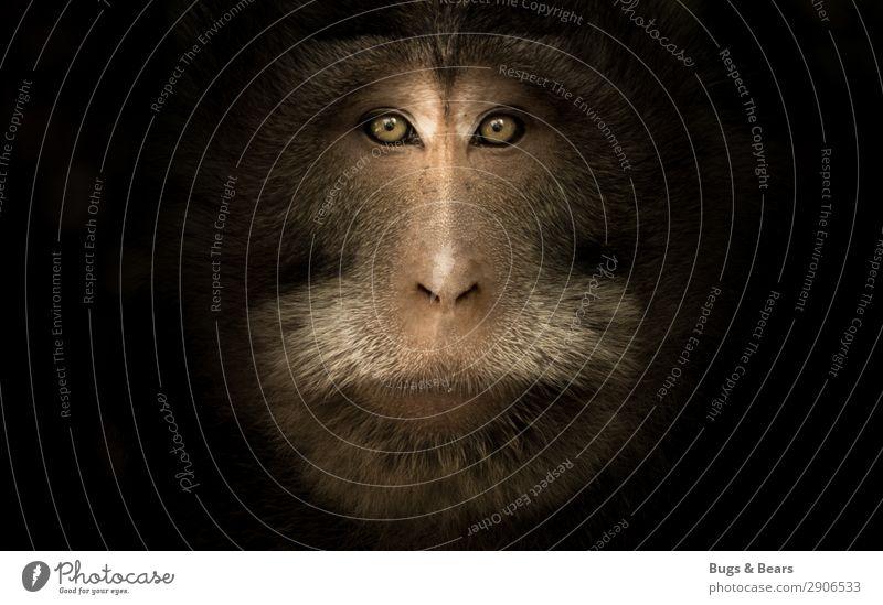 Makakenportrait Tier Wildtier Tiergesicht 1 Aggression ästhetisch bedrohlich wild braun Willensstärke Macht Mut Vertrauen Natur Affen Auge dunkel nah stark