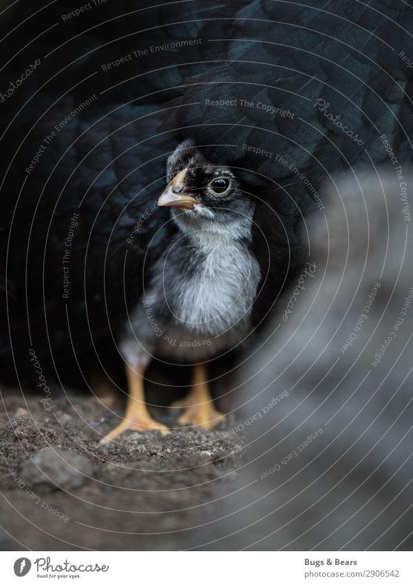 Mama ist das beste Versteck Tier Nutztier schwarz Angst Küken Haushuhn Tierjunges Kind Baby unsicher Beschützer Mutter verstecken Schnabel Geflügel Sicherheit