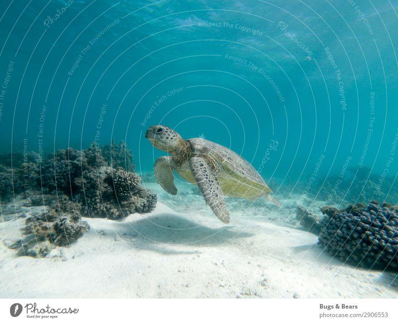Grüne Meeresschildkröte Natur Riff Korallenriff Tier Wildtier Aquarium Zufriedenheit Weisheit Abenteuer Schildkröte Grüne Meeresschildkörte Australien