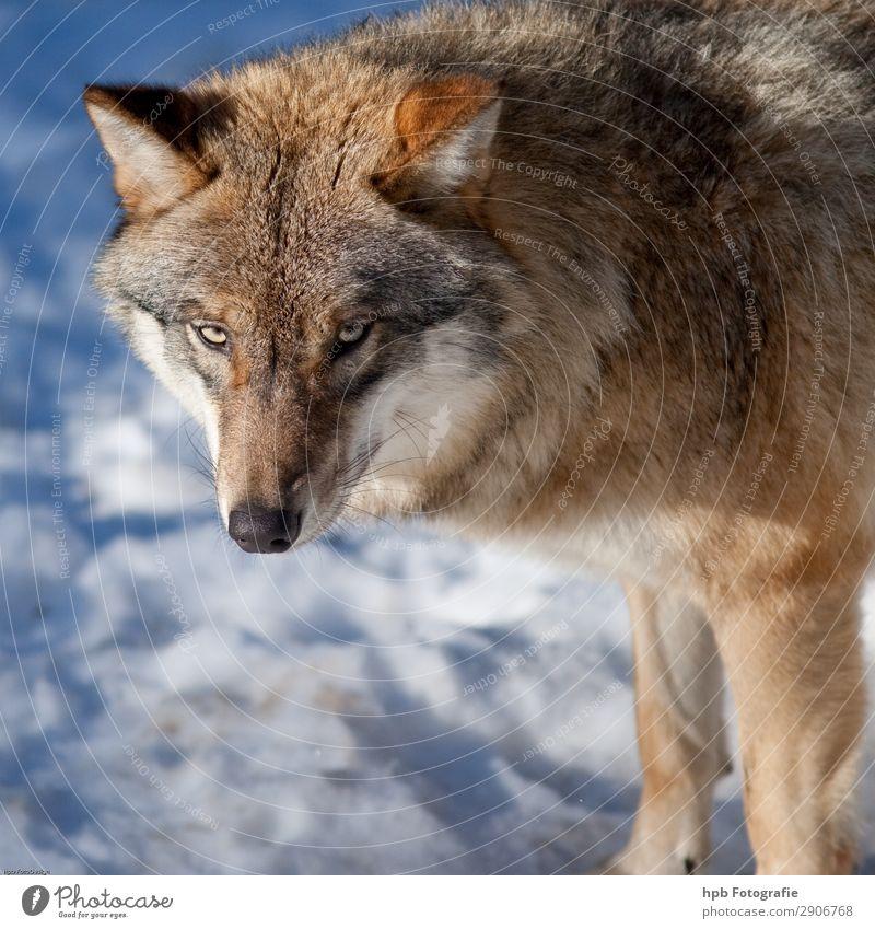 Wolf 58 Umwelt Natur Tier Eis Frost 1 ästhetisch authentisch elegant frei schön kalt klug blau braun Stimmung Zufriedenheit Lebensfreude Tapferkeit selbstbewußt