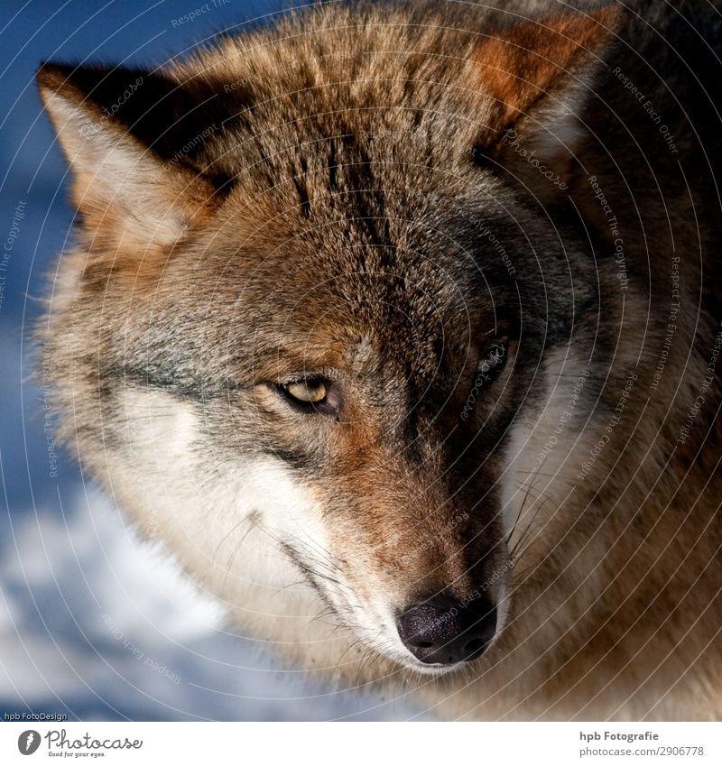 Wolf 3 Umwelt Natur Tier Sonnenlicht Winter Eis Frost 1 ästhetisch authentisch außergewöhnlich einfach blau braun Stimmung Lebensfreude selbstbewußt Ehrlichkeit