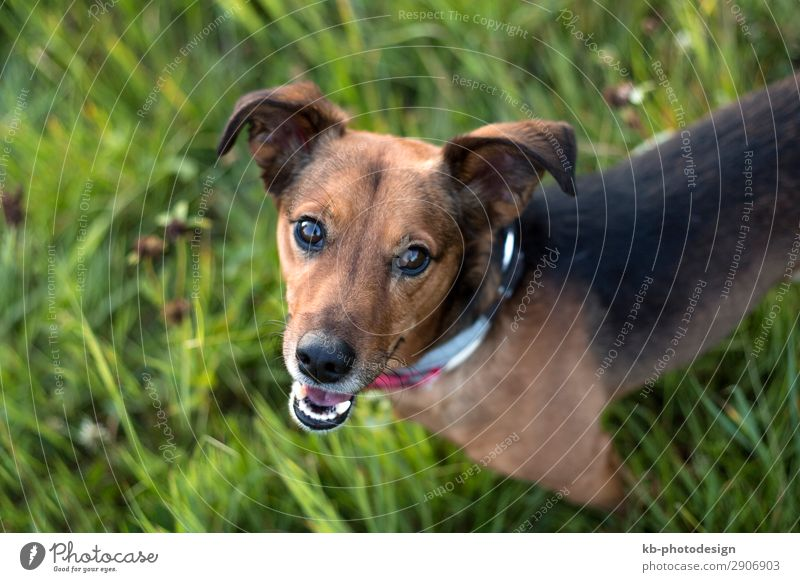 Portrait of a Terrier Dachshund Mix Tier Haustier Hund Dackel Blick klug mixture Dog breed run running Friendship mammal Domestic animal young clever Head Snout