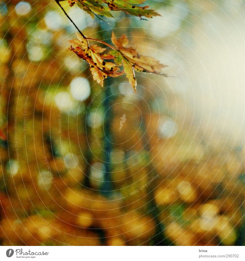 Russia | Zemlya Leoparda wandern Natur Pflanze Baum Blatt Wildpflanze Ahorn Ahornblatt Wald Russland Erholung Umwelt Vergänglichkeit analog Unschärfe Herbst