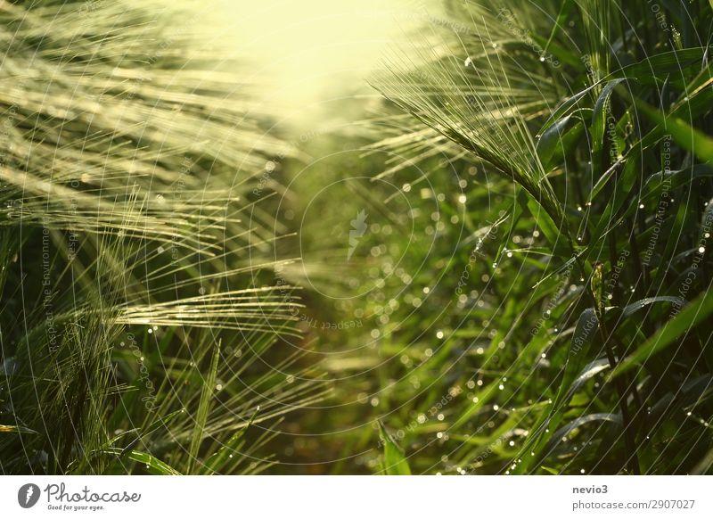Gerstenfeld im Frühjahr Umwelt Natur Frühling Sommer Pflanze Gras Nutzpflanze gelb grün Lebensfreude Frühlingsgefühle Gerstenähre Getreide Getreidefeld