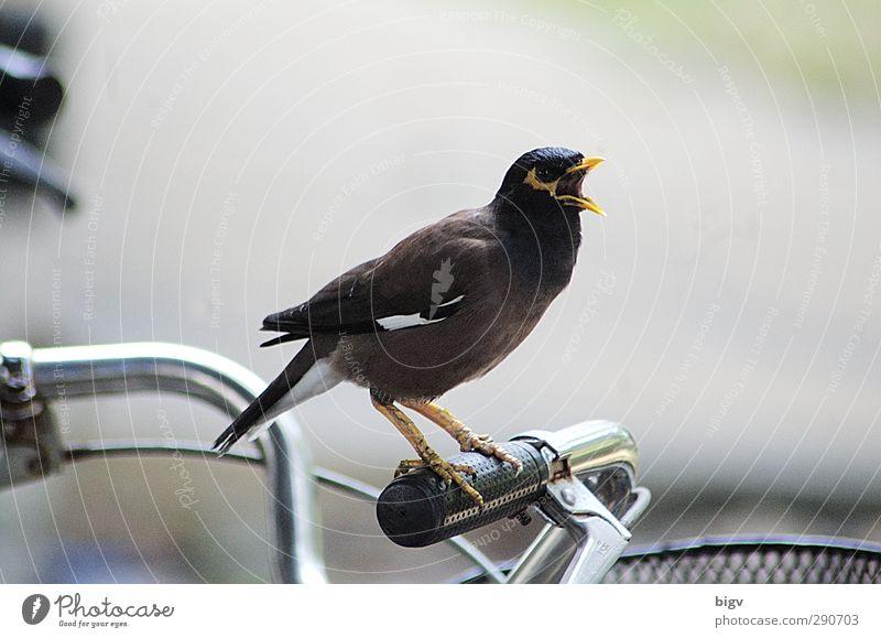 Vogel Fahrrad Tier 1 Aggression außergewöhnlich Kraft Fotografie Verteidigen Farbfoto Außenaufnahme Nahaufnahme Menschenleer Freisteller Tag Silhouette