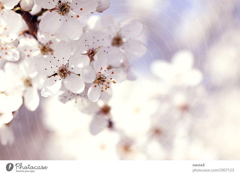 Blühender Schlehendorn Umwelt Natur Frühling Pflanze Blüte Nutzpflanze Wildpflanze schön natürlich weiß Schwarzdorn Blütenblatt Blütenkelch Zweige u. Äste Ast
