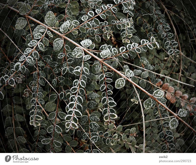 Wintergarten Umwelt Pflanze Eis Frost Sträucher Blatt Grünpflanze Hecke Stengel Garten frieren Wachstum warten kalt nah natürlich viele gleich Zusammenhalt
