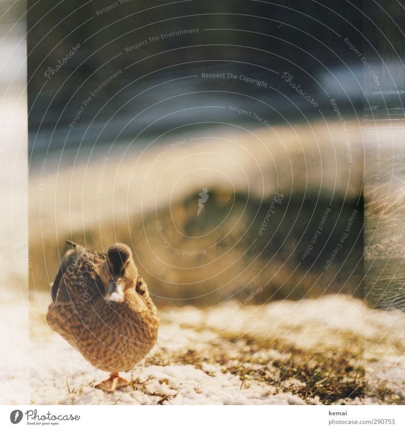 Auf einem Bein gut stehen können Winter Schönes Wetter Eis Frost Pflanze Gras Tier Wildtier Vogel Tiergesicht Ente Schnabel Weibchen 1 Blick Warmherzigkeit