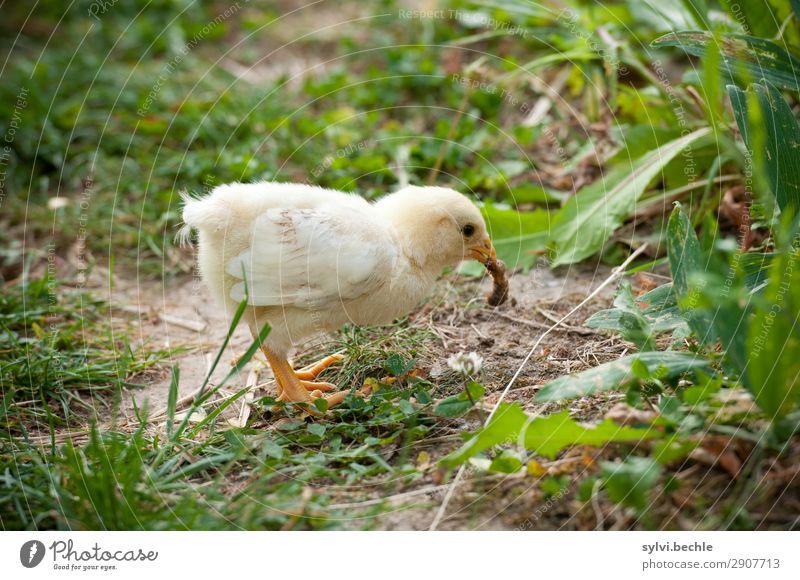 Das Küken und der Wurm Natur Sommer grün Tier Gesundheit Tierjunges Leben gelb Umwelt Wiese Glück Gras Garten Freiheit Ernährung Wachstum