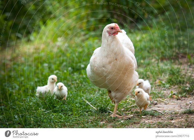 Spaziergang mit Mama Natur Sommer Gras Garten Wiese Tier Nutztier Haushuhn Küken Gelege Brutpflege Tierjunges Tierfamilie entdecken laufen niedlich Vertrauen