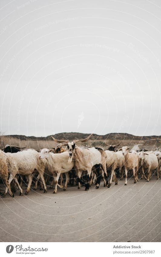 Schafe, die auf der Straße gehen. Wolle Tier Landschaft Schafherde Berge u. Gebirge Sommer laufen Herde Natur sich[Akk] ereignend Block Hintergrundbild