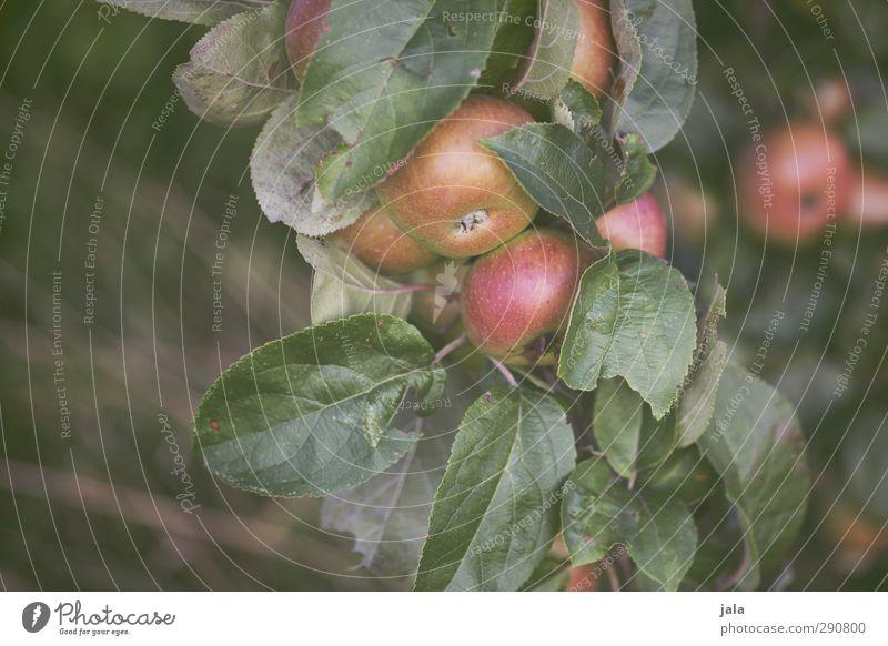 äpfel Umwelt Natur Pflanze Baum Blatt Nutzpflanze Apfelbaum Frucht natürlich Farbfoto Außenaufnahme Menschenleer Textfreiraum links Tag
