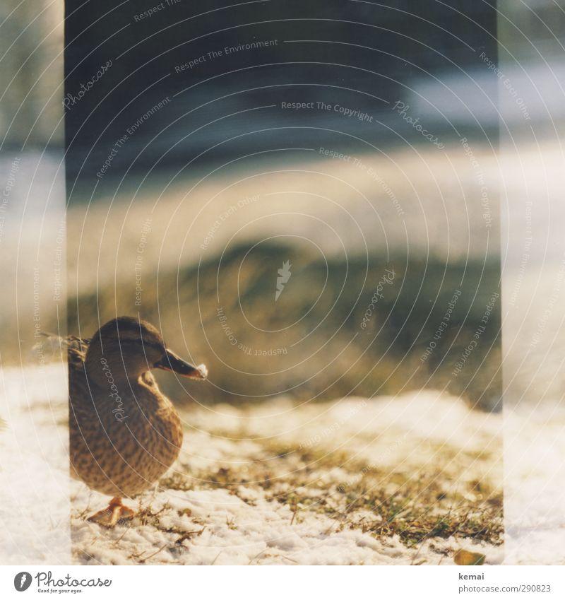 Schnee am Schnabel Sonnenlicht Winter Schönes Wetter Pflanze Gras Tier Wildtier Vogel Tiergesicht Ente 1 stehen Gelassenheit ruhig Farbfoto Gedeckte Farben