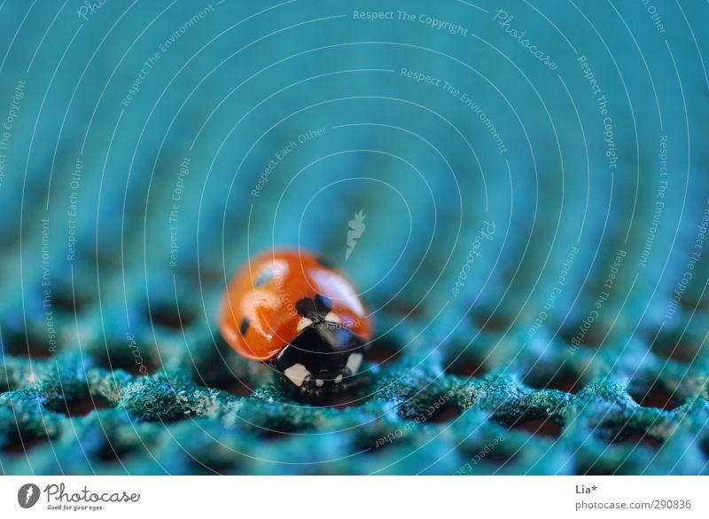 Marienkäfer auf unnatürlichem Untergrund Einsamkeit allein klein winzig unbedeutend klein isolation Tier Käfer 1 sitzen blau orange Glück Nahaufnahme