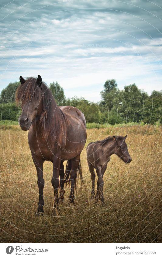 Isländischer Nachwuchs Glück Reiten Reitsport Natur Landschaft Pflanze Tier Himmel Horizont Sommer Wiese Weide Nutztier Pferd Fohlen Muttertier Island Ponys 2