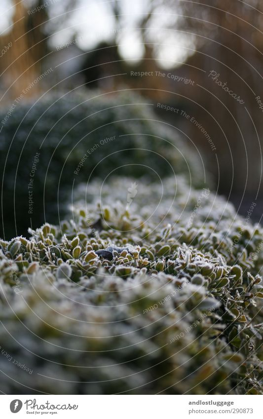 mamas garten. Freizeit & Hobby Winter Natur Pflanze Schönes Wetter Eis Frost Sträucher Blatt Grünpflanze Buchsbaum Hecke ästhetisch kalt nah schön grün Design