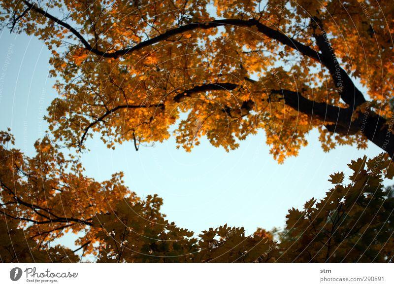 wo ist der sommer hin? Umwelt Natur Pflanze Himmel Wolkenloser Himmel Schönes Wetter Baum Blatt Ast Laubbaum Garten Park Wald dunkel Wärme blau braun Farbfoto