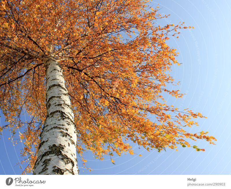 Rotschopf... Umwelt Natur Pflanze Herbst Schönes Wetter Baum Blatt Birke Birkenrinde Birkenblätter Baumstamm Feld alt hängen stehen Wachstum ästhetisch