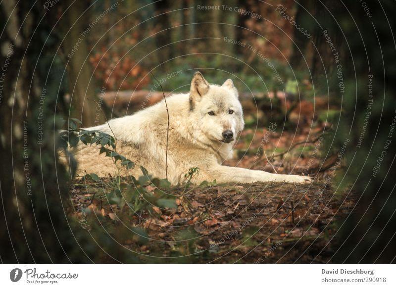 Polarwolf Natur grün weiß Pflanze Baum Blatt Tier schwarz Wald gelb Herbst Frühling liegen braun Wildtier Sträucher