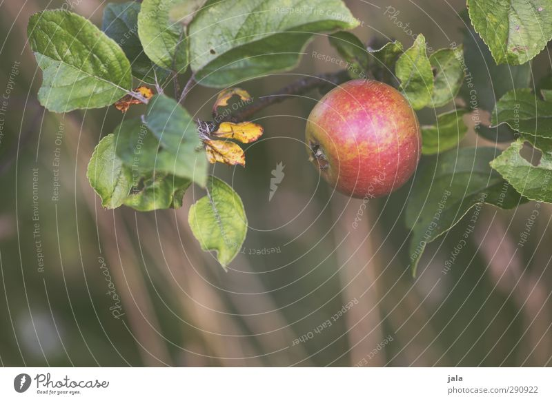 apfel Umwelt Natur Pflanze Blatt Nutzpflanze Frucht Apfel frisch Gesundheit natürlich Farbfoto Außenaufnahme Menschenleer Tag