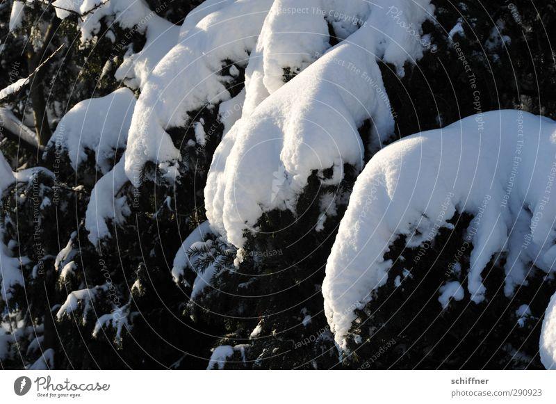 Schneeelefant Umwelt Natur Pflanze Sonnenlicht Winter Eis Frost Baum weiß Schneedecke Tanne Tannenzweig schwer Zweige u. Äste Außenaufnahme Menschenleer