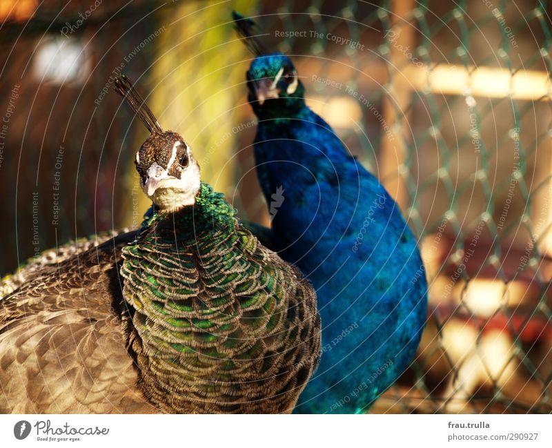 alteingesessen und gleichgesinnt Natur Tier Zusammensein Tierpaar Wildtier beobachten Neugier Team Zusammenhalt Zoo Tierliebe Pfau einheitlich