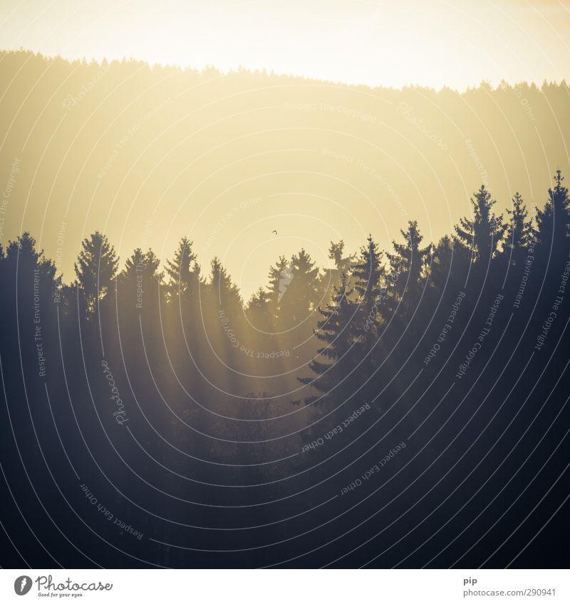 flügel der morgenröte Umwelt Natur Sonnenaufgang Sonnenuntergang Herbst Schönes Wetter Tanne Fichtenwald Nadelwald Wald Vogel fliegen Wärme gelb gold