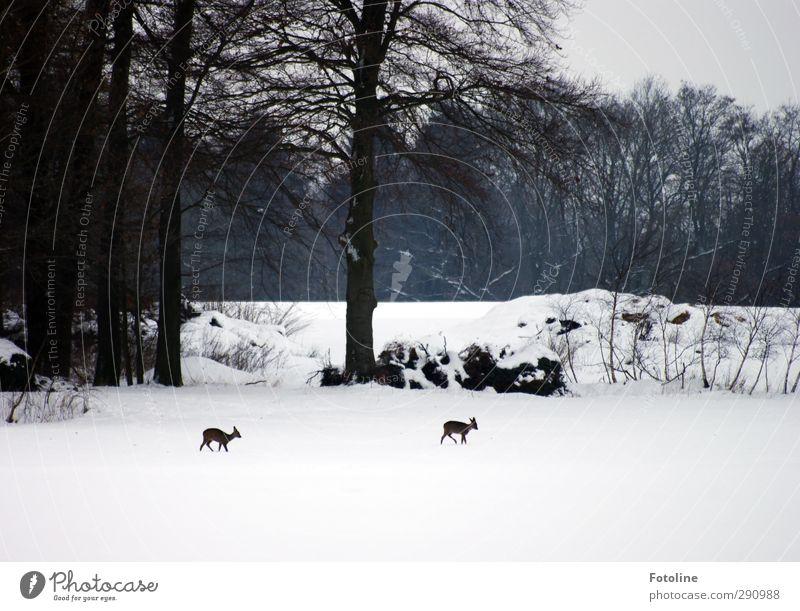 Hunger Umwelt Natur Landschaft Pflanze Tier Himmel Winter Eis Frost Schnee Baum Sträucher Feld Wald hell natürlich schwarz weiß graue Wolken Reh