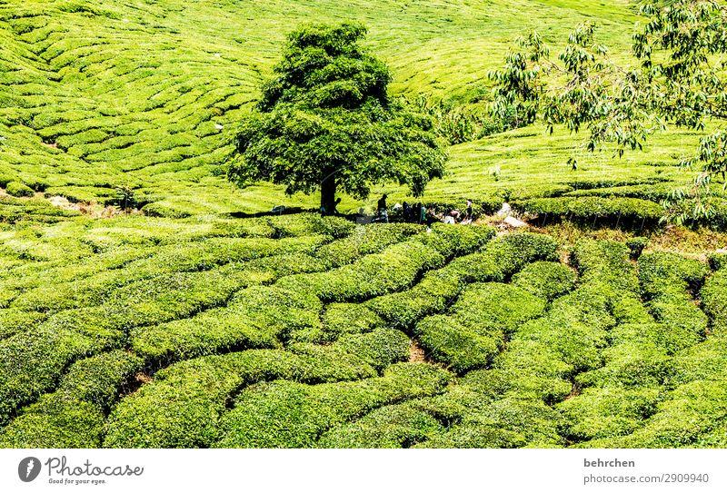 herausragend | grün aus grün Ferien & Urlaub & Reisen Tourismus Ausflug Abenteuer Ferne Freiheit Natur Landschaft Pflanze Baum Blatt Nutzpflanze Teepflanze