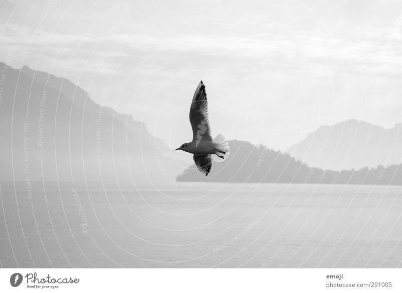 Freigeist Umwelt Natur Himmel See Tier Vogel 1 Freiheit fliegen Möwe frei Schwarzweißfoto Außenaufnahme Tag Kontrast Silhouette Schwache Tiefenschärfe