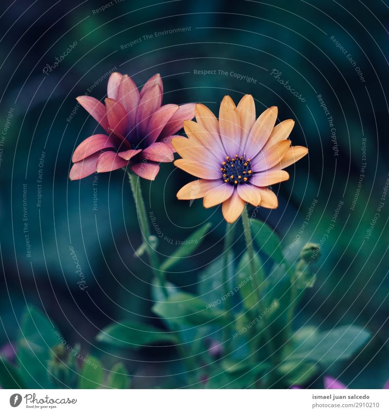 Orangenblütenpflanze im Frühjahr Blume orange Blütenblatt Pflanze Garten geblümt Natur Dekoration & Verzierung Romantik Beautyfotografie zerbrechlich