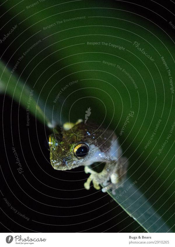 Froschkönig Natur Wald Urwald Tier Wildtier 1 Abenteuer Auge Detailaufnahme Reisefotografie Borneo Blatt Reptil Nachtaufnahme Kontrast Taschenlampe exotisch