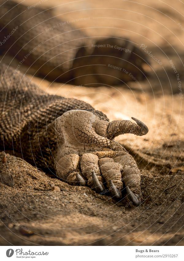 Der letzte Drache Hand Urelemente Erde Sand Tier Wildtier Schuppen Krallen Pfote schlafen Abenteuer Kraft Warane Reptil Indonesien Reisefotografie liegen