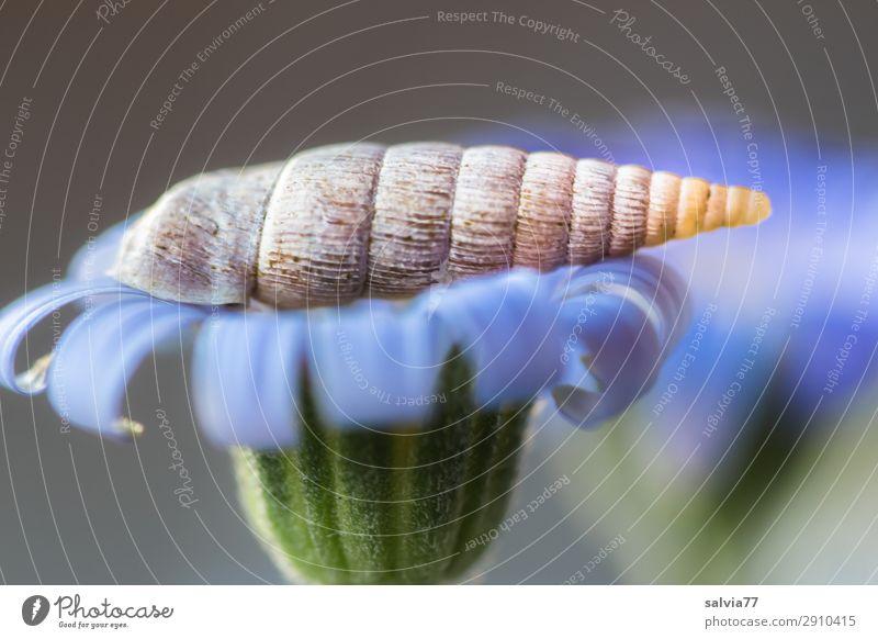 Schließmundschnecke Umwelt Natur Pflanze Blume Blüte Garten Tier Wildtier Schnecke 1 Spitze blau grau grün Strukturen & Formen gedreht Spirale Symmetrie