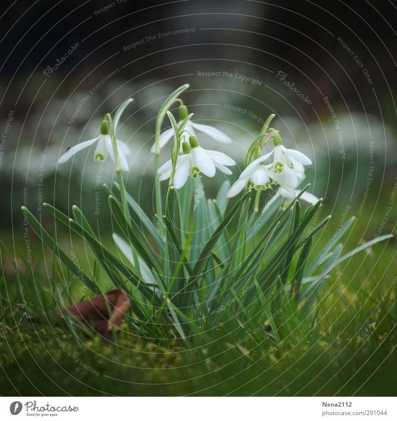 Lust auf Frühling Umwelt Natur Pflanze Erde Schönes Wetter Blume Moos Blatt Blüte Garten Wiese Wald weiß Schneeglöckchen Frühlingsgefühle Frühlingsblume