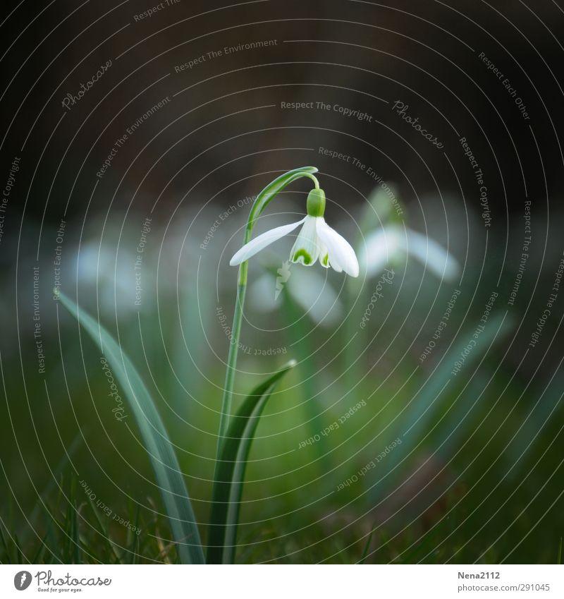 Frühlingserwachen Natur weiß Pflanze Blume Einsamkeit Blatt Wald Umwelt Wiese Gras Blüte Garten Park Erde Schönes Wetter