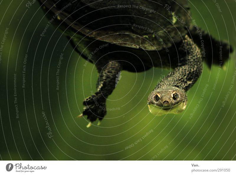 Hallo! Natur Tier Wasser Wildtier Krallen Aquarium Schildkröte Kopf Hals 1 Schwimmen & Baden grün Farbfoto Gedeckte Farben Innenaufnahme Nahaufnahme