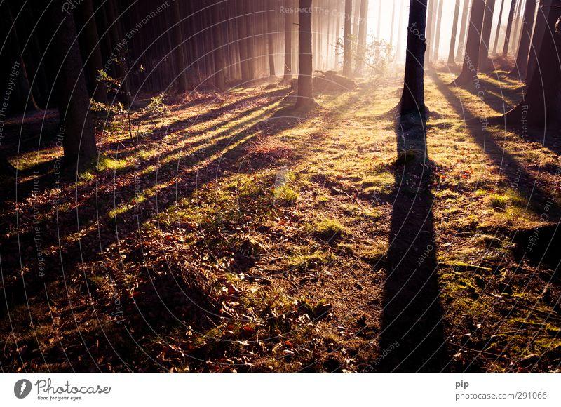 umherstreifen im wald Herbst Schönes Wetter Nebel Baum Fichtenwald Nadelwald Baumstamm Unterholz Waldlichtung dunkel hell Natur Tanne Morgendämmerung Schatten