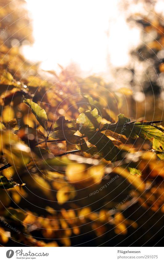 I see the light Umwelt Natur Landschaft Pflanze Tier Klima Klimawandel Wetter Schönes Wetter Baum Park Wald Urwald schön Herbstlaub herbstlich Herbstbeginn