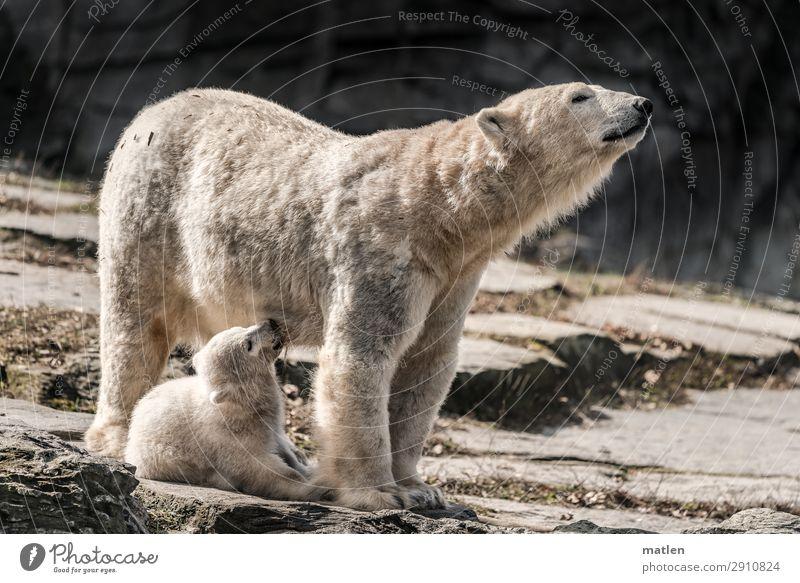 Säugling Tier Tiergesicht Fell 2 Tierjunges Tierfamilie trinken niedlich braun grau weiß Eisbär Baby Mutter Säugetier stillen Farbfoto Gedeckte Farben
