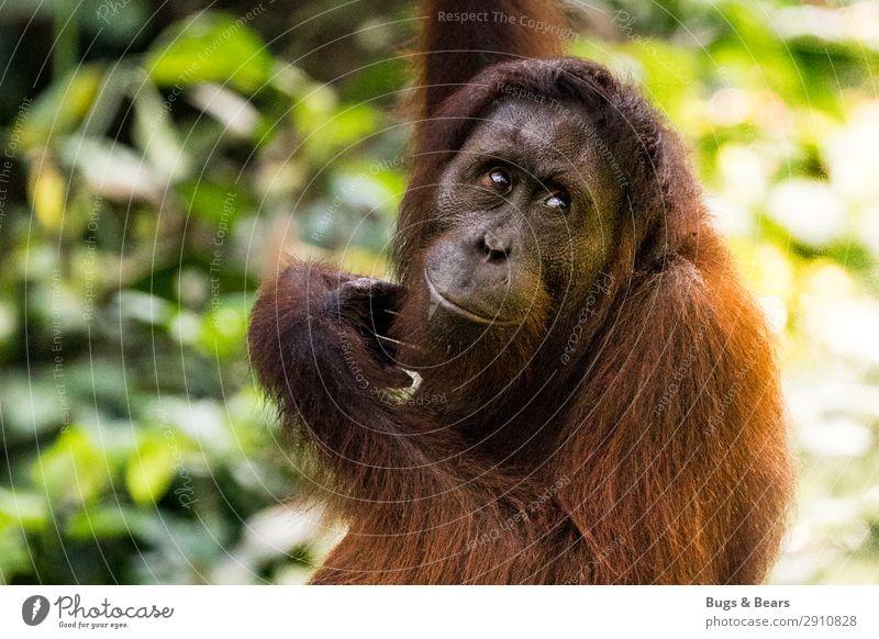 Orang Utan Natur Tier Klimawandel Wald Urwald Wildtier Abenteuer Ferien & Urlaub & Reisen Orang-Utan Affen Menschenaffen Artenschutz Umweltschutz Nationalpark