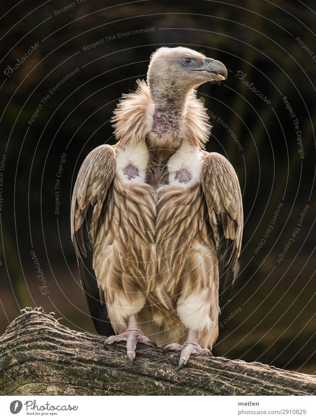 Wally Baum Tier Vogel 1 beobachten dunkel nackt braun weiß Wegsehen Geier Farbfoto Gedeckte Farben Außenaufnahme Nahaufnahme Textfreiraum links