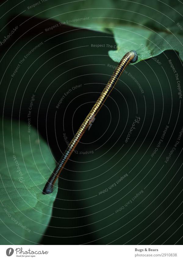 Blutsauger Wald Urwald Tier Wildtier Abenteuer Blutegel Borneo Asien exotisch Wurm Lebewesen Reisefotografie Expedition Abenteurer schleichen Parasit