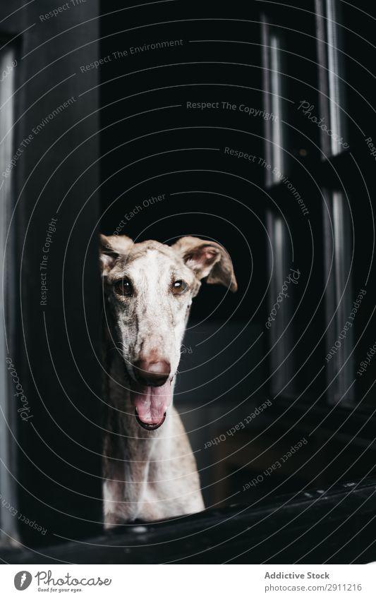 Süßer Hund schaut durchs Fenster. heimwärts Glas Haustier Reinrassig spanischer Windhund Tier heimisch warten anschauend Freundschaft gehorsam loyal Galgo