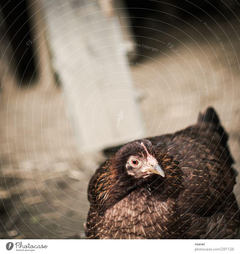 Vogel, schräg Tier Sand braun Lebensmittel Erde dreckig frei stehen niedlich Landwirtschaft Neugier Tiergesicht Neigung Bauernhof dick