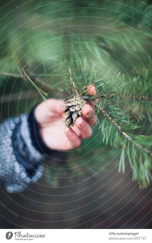 . feminin Hand 1 Mensch Baum Blatt Grünpflanze festhalten natürlich grün Natur pflücken Zapfen Finger berühren Arme Nadelbaum Tannennadel Zweige u. Äste