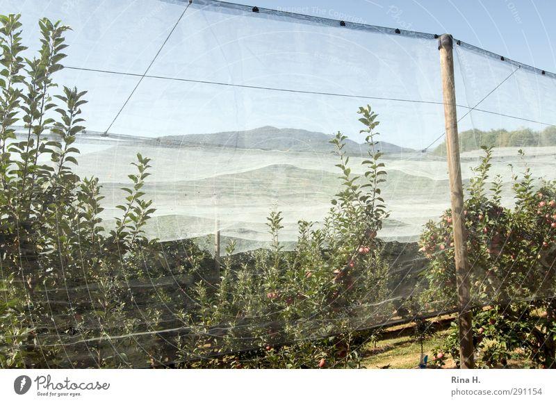 Schutz Sommer Baum authentisch Landwirtschaft Netz Ernte reif Forstwirtschaft Apfelbaum Plantage Obstbau