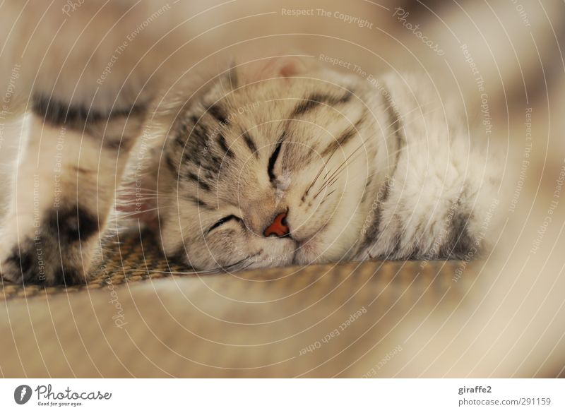 Miez Mauz Katze schön rot Tier Erholung Gefühle braun träumen Freundschaft liegen Zusammensein Zufriedenheit Nase Warmherzigkeit schlafen niedlich