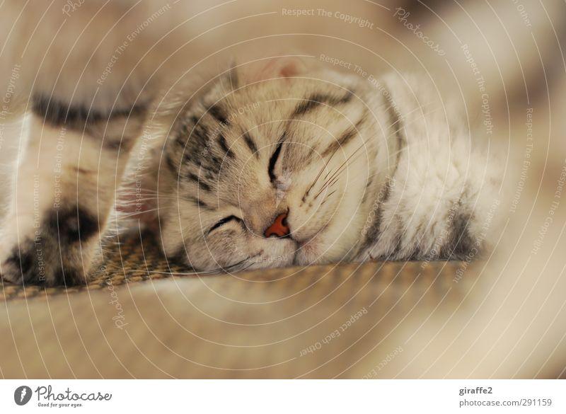 Miez Mauz Tier Haustier Katze 1 2 liegen schlafen träumen niedlich weich braun Gefühle Zufriedenheit Warmherzigkeit Sympathie Freundschaft Zusammensein